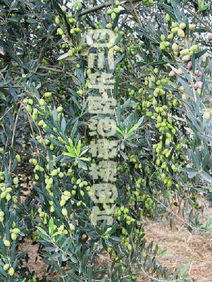 供应优选油橄榄树苗批发价格