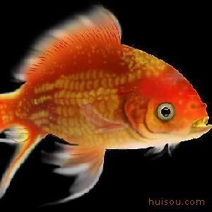 日本耗时三年终培育出透明金鱼
