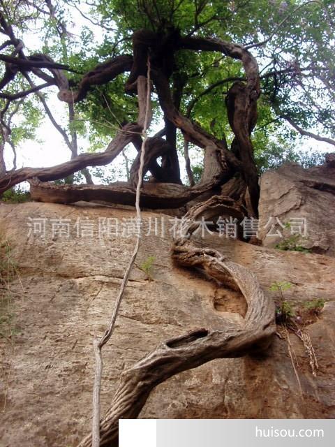 1-2米椤木石楠,火棘球,海桐,南天竹,枸骨,五叶地锦价格表;