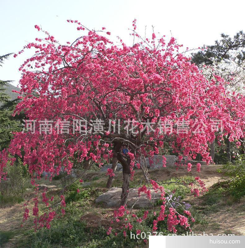 园林植物价格 胸径2 30公分木瓜树 紫薇树 百日红 枇杷树 椤木石楠价格