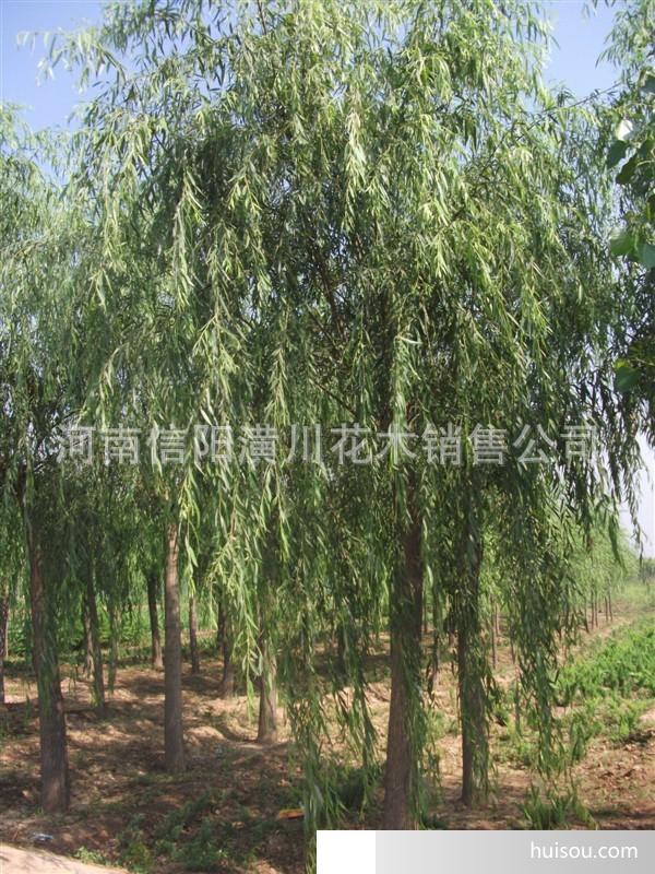 胸径2-80公分馒头柳树,金丝柳树,垂柳树,古柳树,柳树价格
