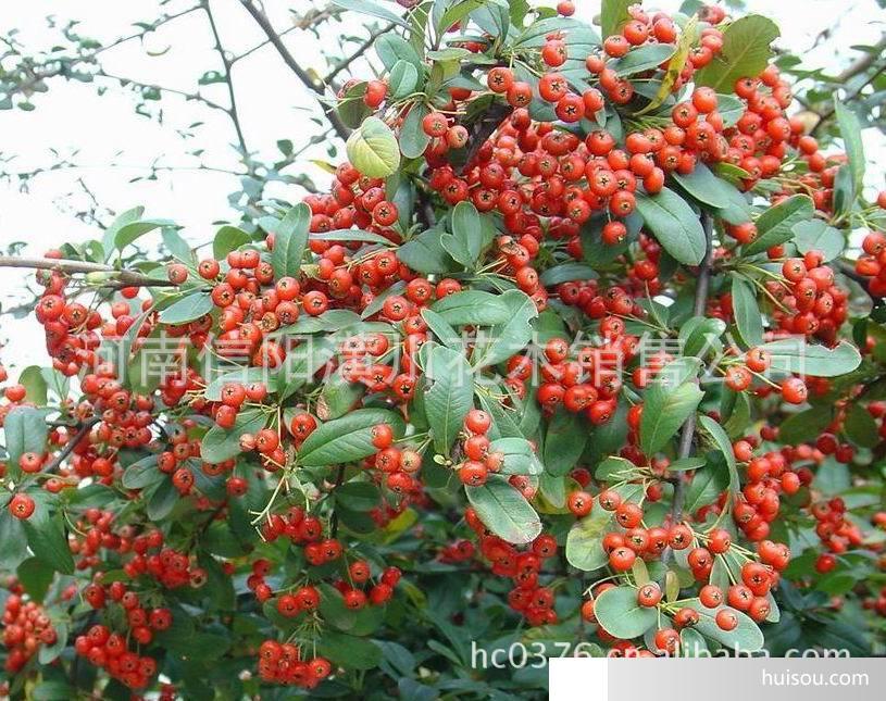 火棘球,红叶石楠球,椤木石楠树,连翘价格表  出售胸径30-50公分的大树
