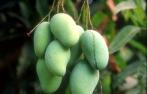綠色食品葉面肥,芒果專用果大增色酸甜適度葉面肥