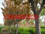 泰安樱花|泰安樱花树|泰安樱花价格