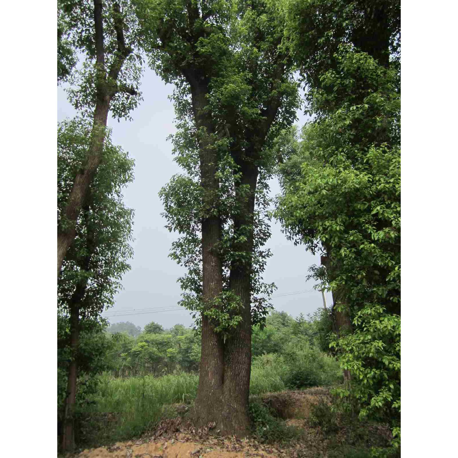 供应双杆香樟树益阳市慧林生态园林