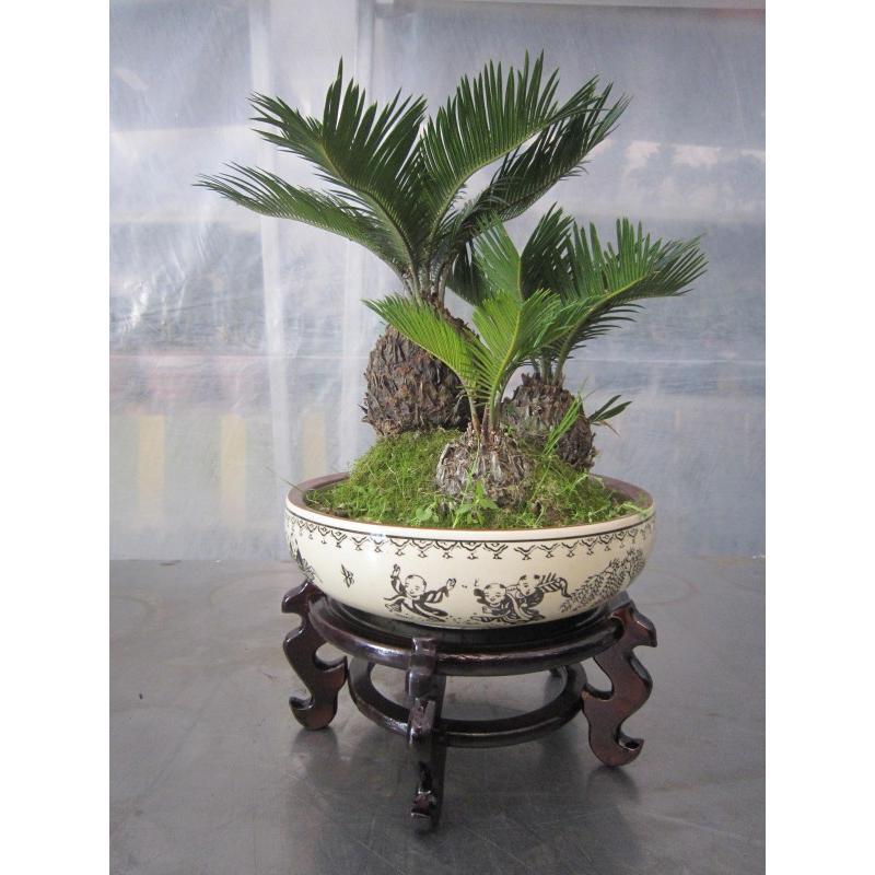 铁树价格_园林植物价格_盆景铁树批发价格_上海市