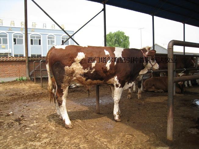 吴敏 13275471081 山东恒达牧业(张全朋)坐落于著名的曾子故里嘉祥,与郓城县接壤,处于小尾寒羊主产区的核心位置 。现在每年外调小尾寒羊、波尔山羊、西门塔尔牛、鲁西黄牛、夏洛莱牛、利木赞、亚洲黄羊、无角陶赛 特羊、得克塞尔羊 、杜泊羊、萨富克羊、海福特牛,肉驴,德州驴,30万只(头)左右,无一例假冒劣质, 均取得了良好的社会效益和经济效益,被山东省畜牧局和县人民政府授予质量信得过个体养殖户、 畜产品购销诚信个人等荣誉称号。 山东恒达牧业(张全朋)建于1988年,是鲁西南规模最大、实力雄厚、