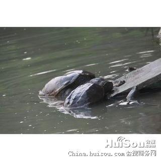 佛鳄龟价格_进口佛鳄龟哪种好进口佛鳄龟价格进口佛鳄龟