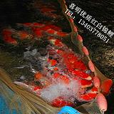 公园观赏鱼金鱼锦鲤放养