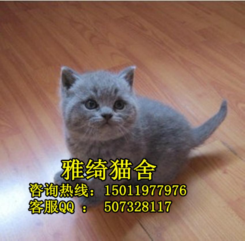 广州英短蓝猫好养吗
