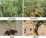 80%乙蒜素 棉花死颗烂苗枯萎病杀菌剂 新型高效乙蒜素杀菌剂