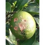棉花枯萎病特效药 柑橘青苔病专用杀菌剂 江西脐橙炭疽病最好药