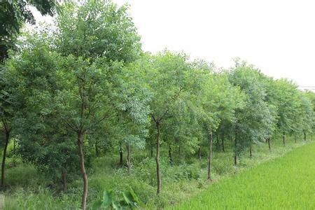 供应安徽合肥精品乌桕树,乌桕小苗,肥西乌桕基地价格图片