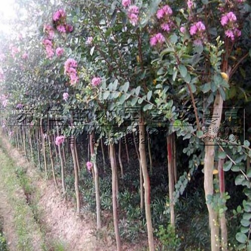 江苏5公分紫薇树价格信息批发价格