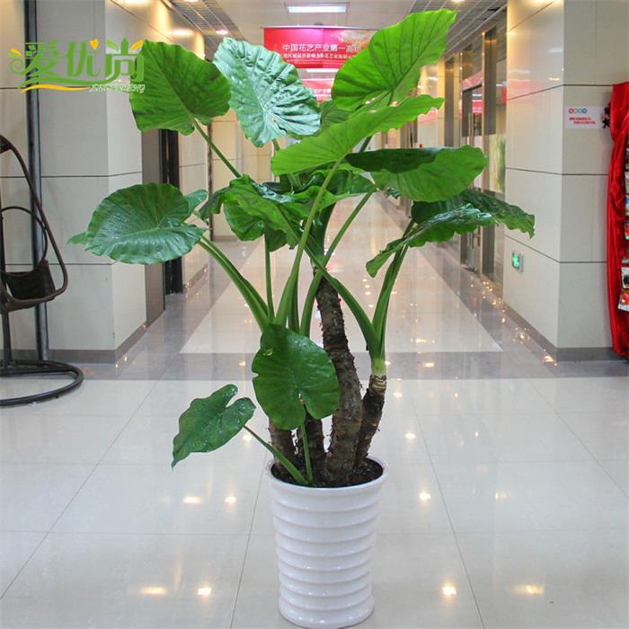 室內觀花植物價格_上海最美室內綠色植物花卉銷售