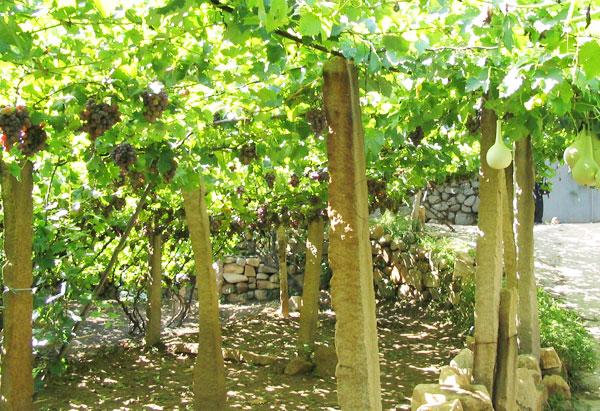 葡萄架立柱是我们厂家生产的使用在葡萄架搭建过程中的一种水泥柱子