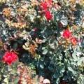 沭阳月季花品种价格