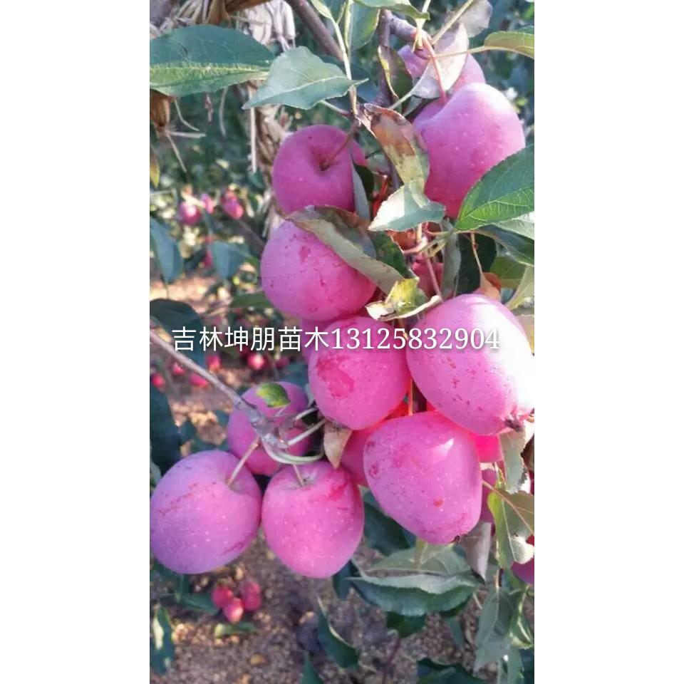 佳木斯出售果树苗,鹤岗出售鸡心果苗,双鸭山哪有卖龙丰果树苗的