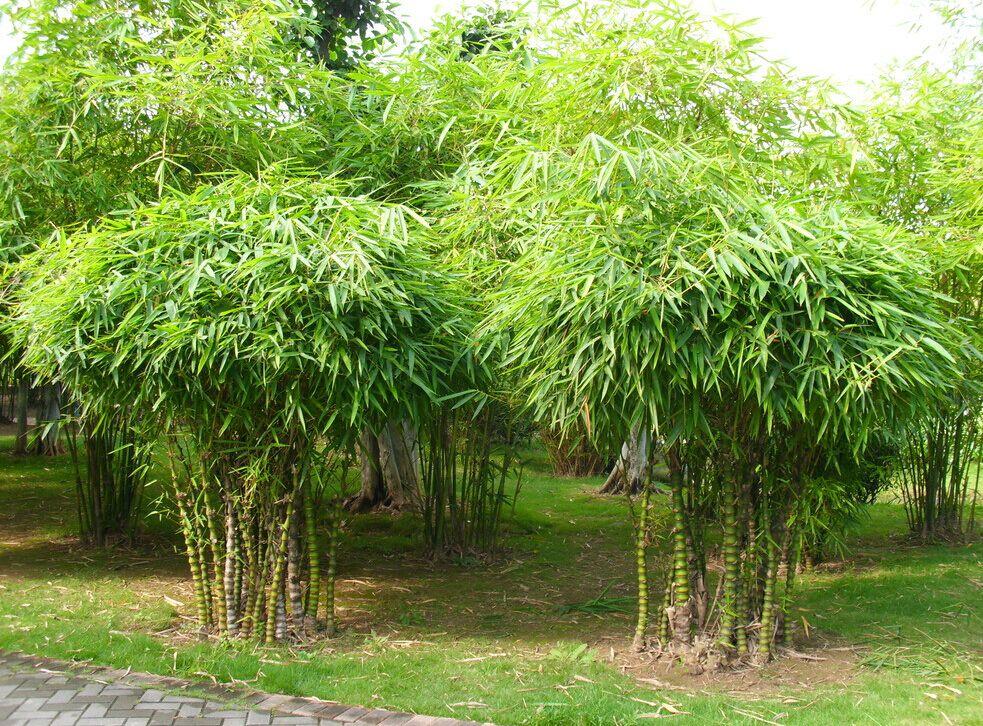 竹��b�ym~Z8{�����k�^ZJ~Y_专业化的竹子批发场家,全年低价供应!园林绿化用竹批发基地