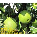 重庆红心柚苗特点,重庆红心柚苗出售,重庆红心柚苗种植技术