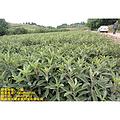 四川枇杷苗品种,四川枇杷苗特点,四川枇杷苗价格