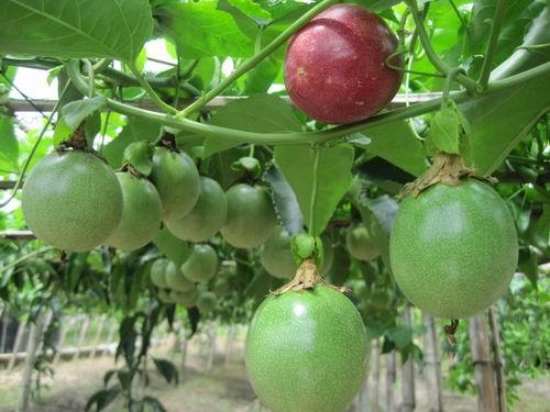 百香果是一种多年生藤本常绿果树,生长发育天明显休眠期,只要温度适宜