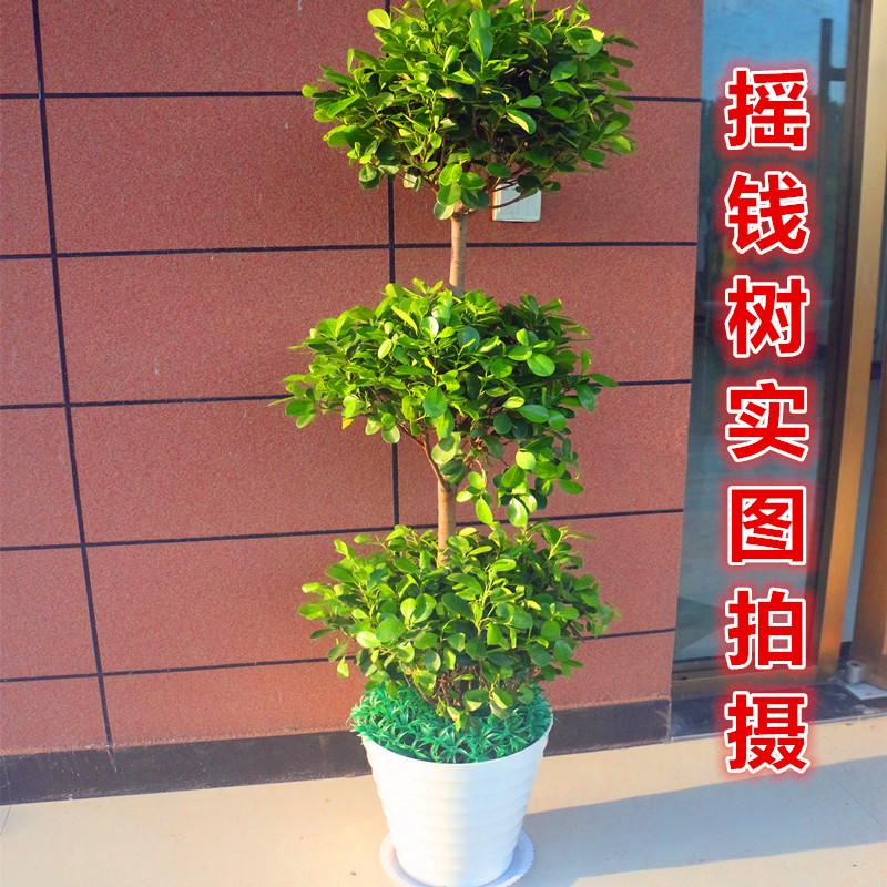 武汉摇钱树大型办公室绿植盆栽,开业送礼金钱树摇钱树,可做租摆