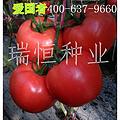 爱国者 西红柿种子,早熟,大果,深粉