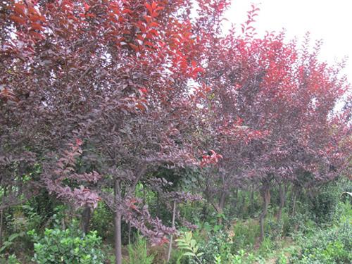 丛生紫叶李_双鸭山紫叶李_亿发园林图图片