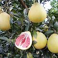 批发原产地福建平和琯溪红肉蜜柚苗