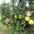 福建平和琯溪蜜柚苗黄肉蜜柚苗产地直批