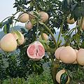 福建平和琯溪蜜柚苗三红蜜柚苗产地直批