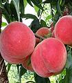 重庆胭脂脆桃苗基地,重庆胭脂脆桃苗品种